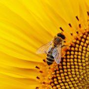 curiosità sulle api