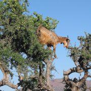 curiosità sulle capre marocchine che mangiano le bacche di argan