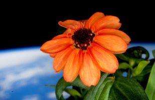 curiosità sul primo fiore sbocciato nello spazio, Zinna