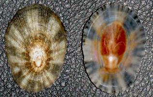 patella mollusco curiosità dal mondo